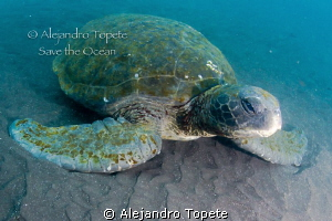 Green Turtle Resting, Galapagos Ecuador by Alejandro Topete 